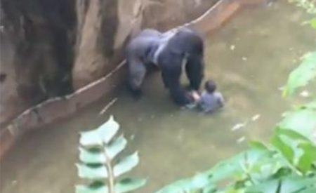 Matan a gorila para salvar a niño de 4 años