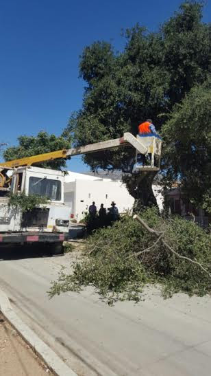 podan árboles en Tecate por seguridad de los ciudadanos