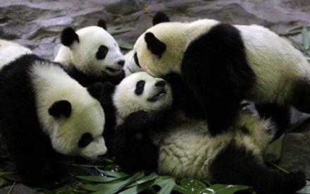 Pandas ya no están en peligro de extinción