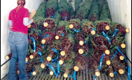 Impiden ingreso de árboles de navidad plagados a México
