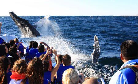 Anuncian temporada de avistamiento de la ballena gris