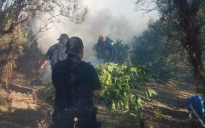 Helicóptero de la PEP ubica tres plantíos de marihuana en…