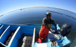 Impulsan auge ostrícola en el Sur lejano de Baja California